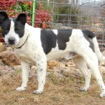 We are calling this friendly fellow Cheesy Mouser.  HE was found the first of January on Highway H near the Palmore Church.  He is a very smart dog and he is a good-natured fellow.  Cheesy is about age 1, heartworm negative and weighs about 50 pounds.  HE was neutered Monday, January 13.  We think this quiet guy is a Heeler and Pit mix.  To adopt call 573-722-3035.