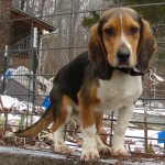 This Beagle male has been a stray for almost two weeks.  HE was incorrectly listed as a possible Dachshund and Basset mix in last week's paper.  We think he is a purebred Beagle.  He was found near Marquand on Co Rd 858 near Liberty Church.  Call 573-722-3035 to claim or adopt.  He is about 8-10 weeks of age.