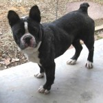 Pet of the Week:  This dog was found near Co Rd Y near the Castor River 1/31/14 and is not microchipped.  We think this dog is a Boston Terrier or mix of.  Call 573-722-3035 to claim or adopt after 2/10/14.