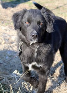 Pet of the Week: this male dog appears to be a Golden Retriever mix. He could be a Flat Coated Retriever or mix of. He is about 18 months old. This dog along with another male was abandoned by a renter who had evaded paying rent and left in the dead-of-night. After contacting the Sheriff's office the property owner was able to get the owner of one of the dogs to come pick him up. The girlfriend's dog, this dog, was left behind to fend on his own. This gentle, young male has a crooked front leg from some type of old injury. He is being neutered this week and up for adoption. Call Marilyn at 573-722-3035 to adopt. He has a great temperament for kids.
